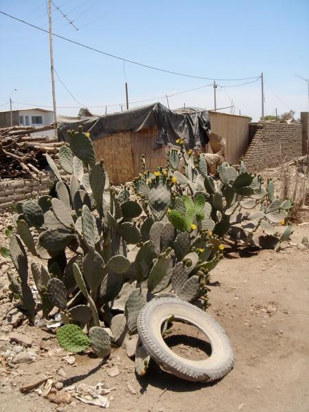 cactus con llanta